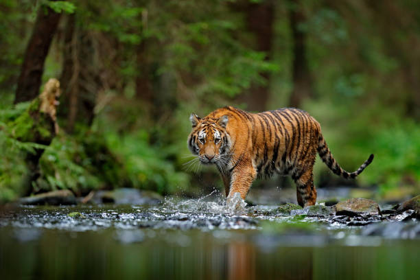 Amur tiger walking in river water. Danger animal, tajga, Russia. Animal in green forest stream. Grey stone, river droplet. Siberian tiger splash water. Tiger wildlife scene, wild cat, nature habitat. stock photo