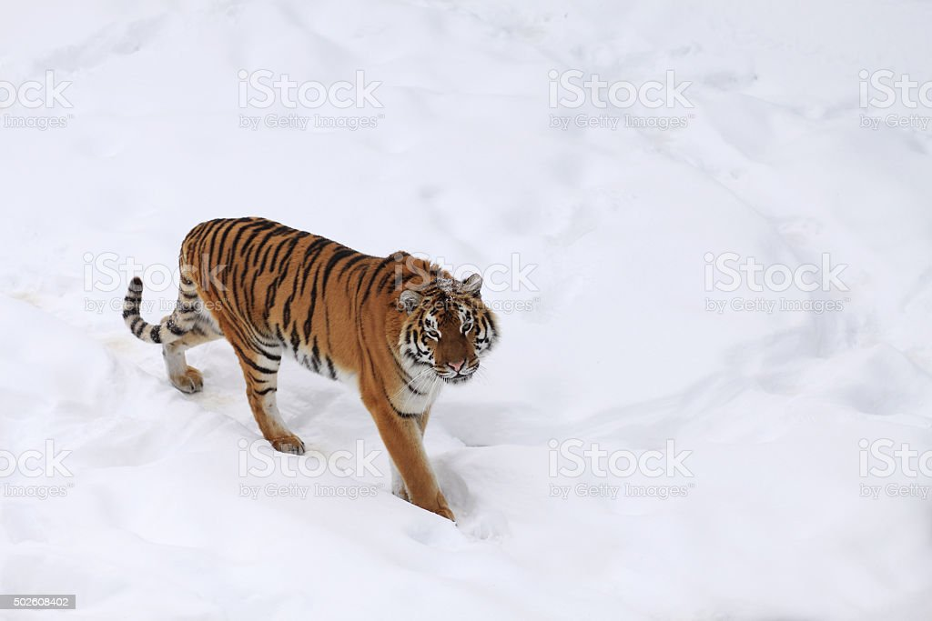 Amur tigress stock photo