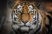 predatory big cat Amur tiger