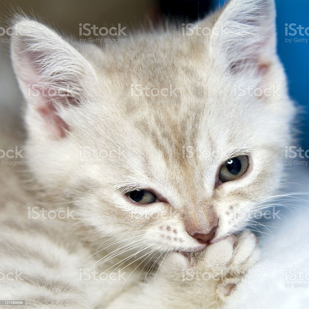 Amusing kitten royalty-free stock photo