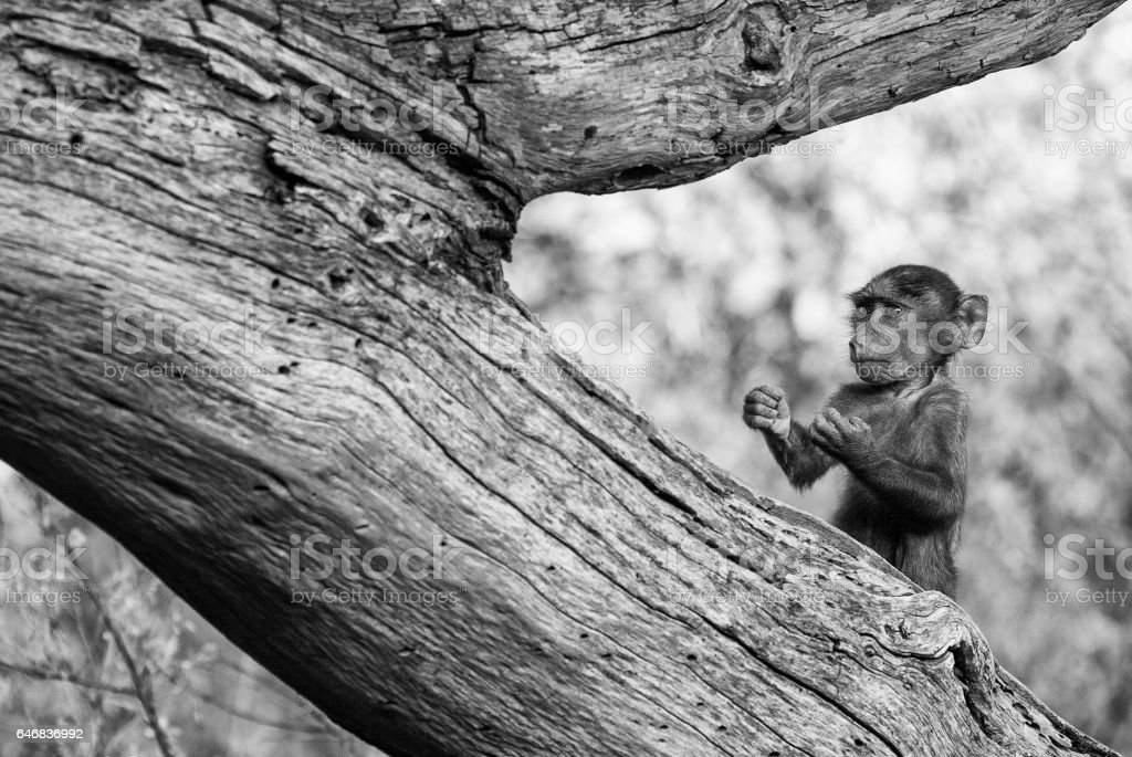 amusing monkey cub standing in a funny pose stock photo
