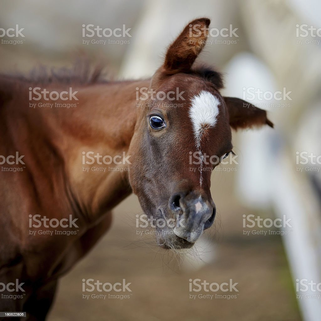 Amusing portrait of a foal. stock photo