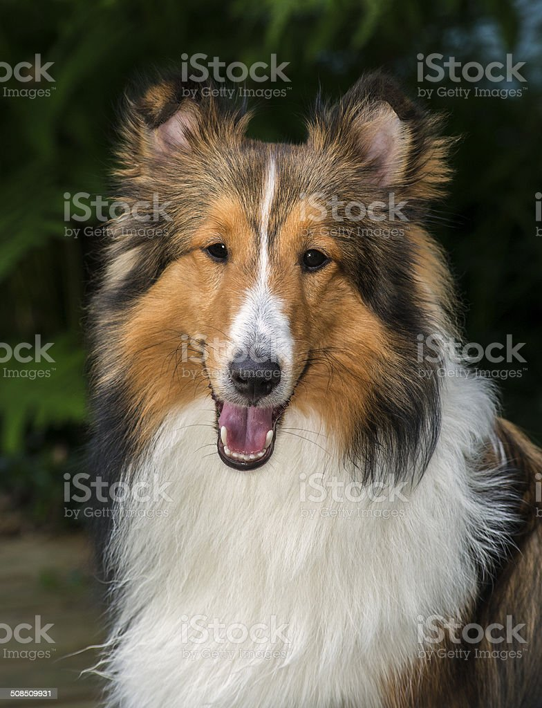 An 8 month old male Sheltie ( Shetland Sheepdog ). stock photo