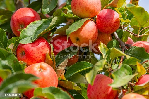 612242240 istock photo an abundance of apples 1179619344