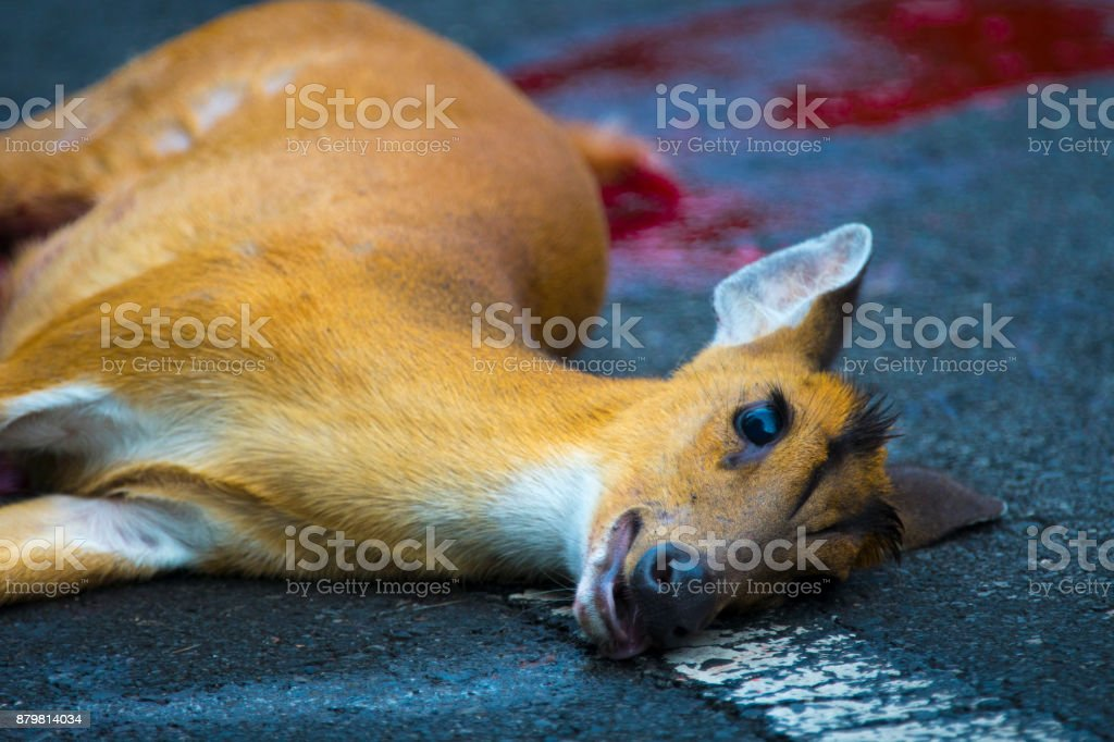 An accident occurred on Barking Deer on the road in Khao Yai National Park stock photo
