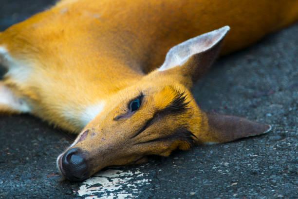 Um acidente ocorrido em cervos Barking na estrada no Parque Nacional Khao Yai - foto de acervo