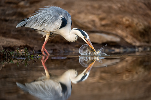 An action photograph of a grey heron catching two fish with a big splash of water, taken at the Madikwe Game Reserve, South Africa. The bird is beautifully reflected in the calm water surface.
