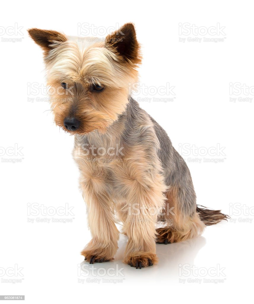 An adorable Australian silky terrier sitting against a white background with shadow reflection. Dog sitting on white underlay. stock photo