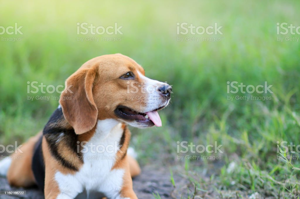 An adorable beagle dog lying down outdoor in the grass field.