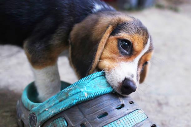 Een schattig beagle puppy kauwen op een vuile schoen. foto