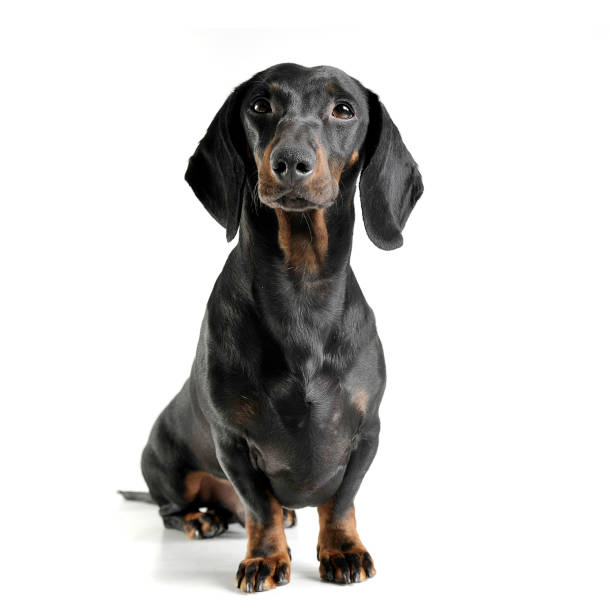 An adorable black and tan short haired dachshund looking curiously at picture id1189297460?b=1&k=6&m=1189297460&s=612x612&w=0&h=oozcwpxx2 m7u4hzy6hopzcqfjzys3wuqjuwkn dedc=