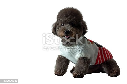 533229488 istock photo An adorable black toy Poodle dog with smile shot. 1130620549