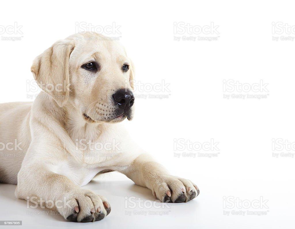 An adorable blonde golden Labrador retriever royalty-free stock photo