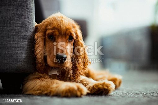 A close up of a cocker spaniel puppy sitting on the floor indoors, looking towards the camera.