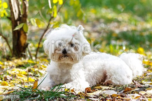 1053642922 istock photo An adorable portrait of a havanese maltese puppy lying down on green grass in a vibrant summer backyard setting. 928417770