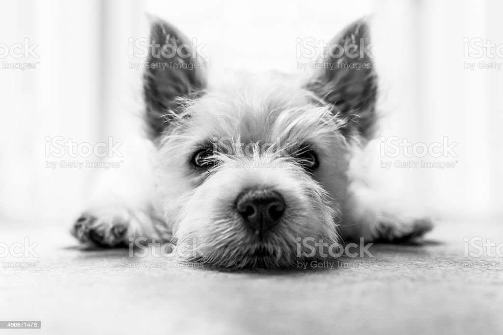 An adorable terrier puppy on a white floor stock photo
