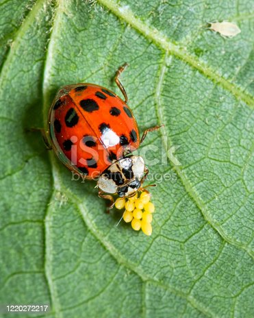 An adult Asian ladybeetle (Harmonia axyridis, Coccinellidae) sitting on a leaf with yellow eggs