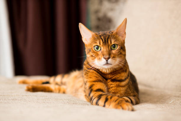 An adult bengali cat lays on the couch stretching its paws picture id1129189422?b=1&k=6&m=1129189422&s=612x612&w=0&h=rqdjvhahmgxv9eedm3z2sn3jyqrm0nlfmtunzzzt2ka=
