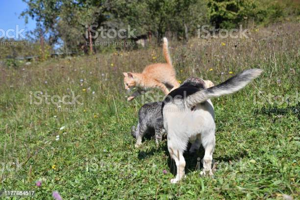 An adult dog play together with small kitty on the meadow picture id1177684517?b=1&k=6&m=1177684517&s=612x612&h=j2kdmyfokncvgclzqze5hayihavxu2lfqvfvmrnqbxa=