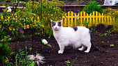 An adult domestic white-gray cat walks through a flowerbed with a pergola and scouts the area. Cat hunter and traveler. Cat export to the country.