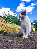 An adult domestic white-gray cat walks through a flowerbed with a pergola and scouts the area. Cat hunter and traveler. Cat export to the country. Vertical photo.