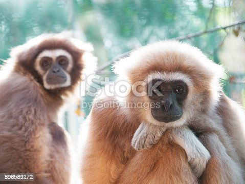 A male lar gibbon ape, Hylobates lar, is sitting with armes crossed and head rested on his knees, in a pensive or sad pose. His mother is on the background. A monkey has black snout and brown hair.