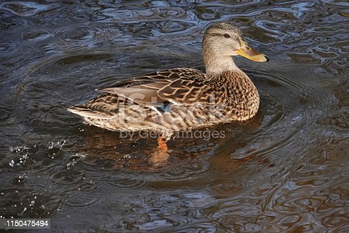 A Female Mallard Duck swimming on a lake in Shropshire.