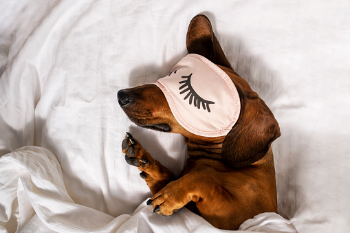 An adult red-haired dachshund is resting in a white bed and wearing pink glasses for sleeping.