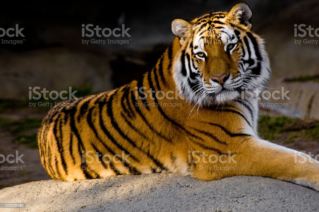 An adult tiger calmly posing for the camera  stock photo