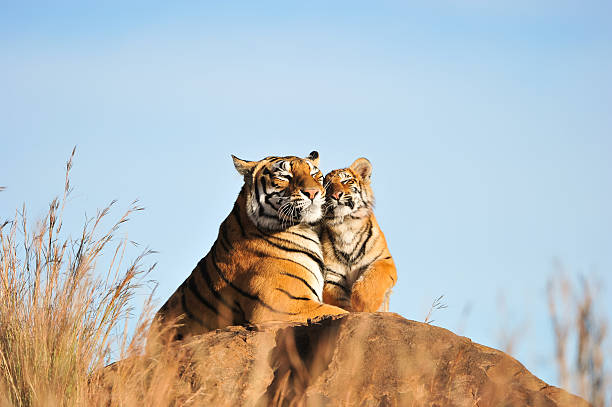 An affectionate tiger moment Bond between a tigress and her cub cub stock pictures, royalty-free photos & images