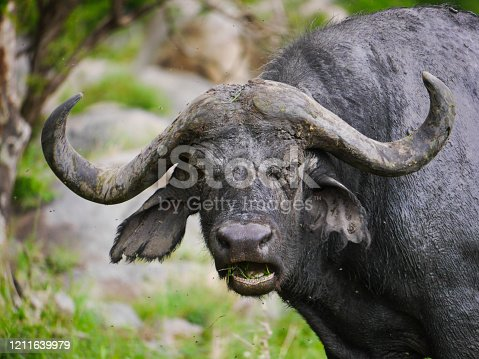 An African (or Cape) buffalo (Syncerus caffer) eats grass while having his mouth open in Serengeti Nationalpark