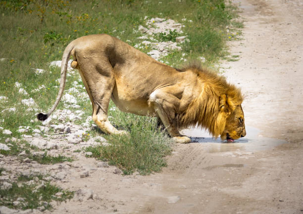 An African Lion male is drinking from a small water puddle in the savannah of the Etosha National park in northern Namibia stock photo