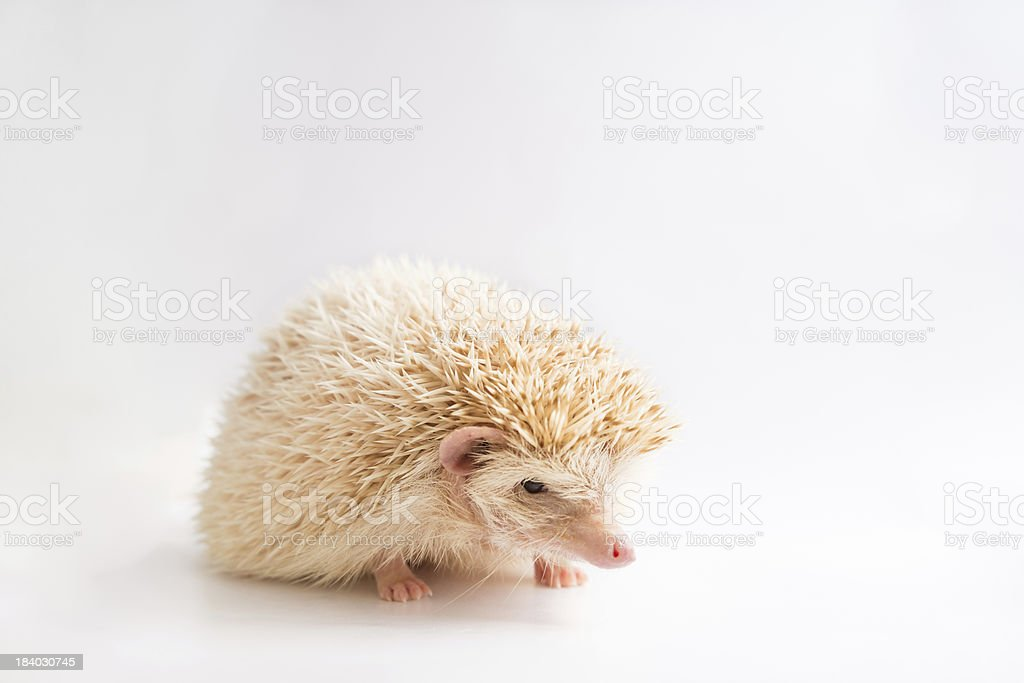 An african pygmy hedgehog on isolated background royalty-free stock photo