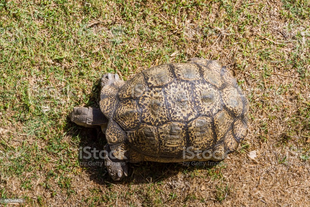 An African Tortoise royalty-free stock photo