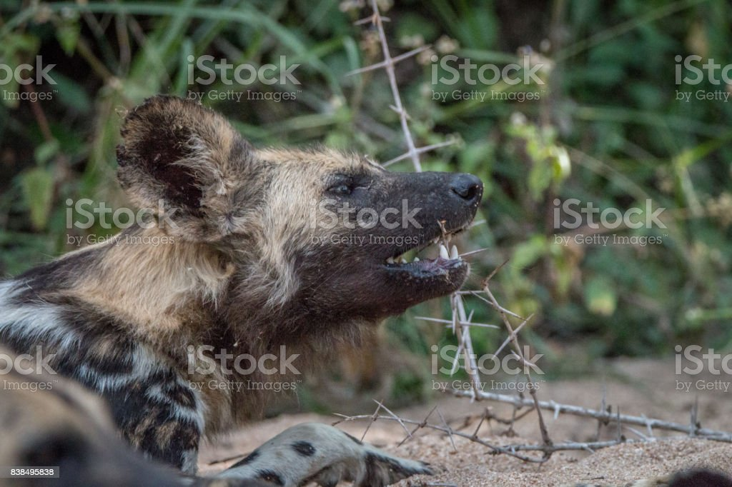 An African wild dog playing with a stick. stock photo