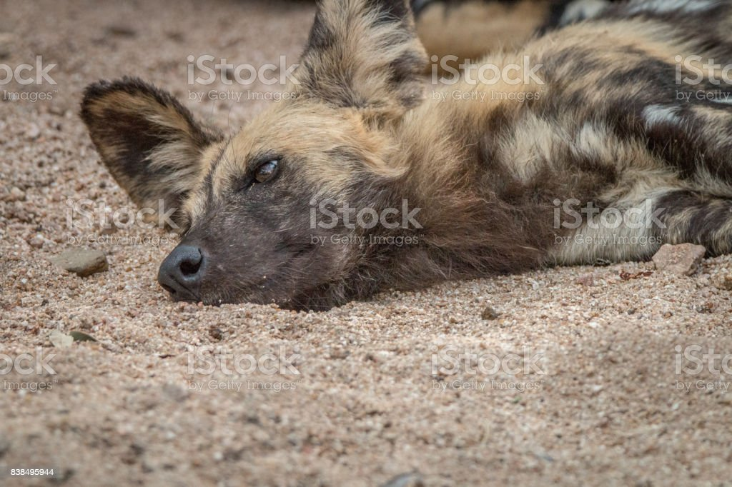 An African wild dog relaxing in the sand. stock photo