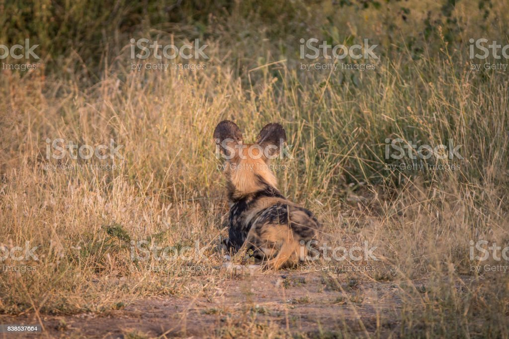 An African wild dog resting in the grass. stock photo
