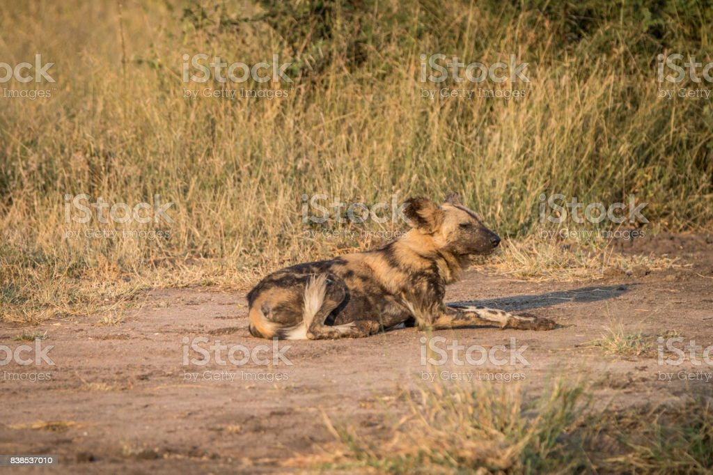 An African wild dog resting on the road. stock photo