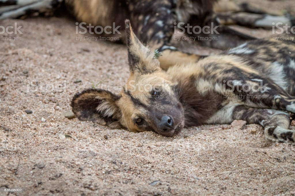 An African wild dog sleeping in the sand. stock photo