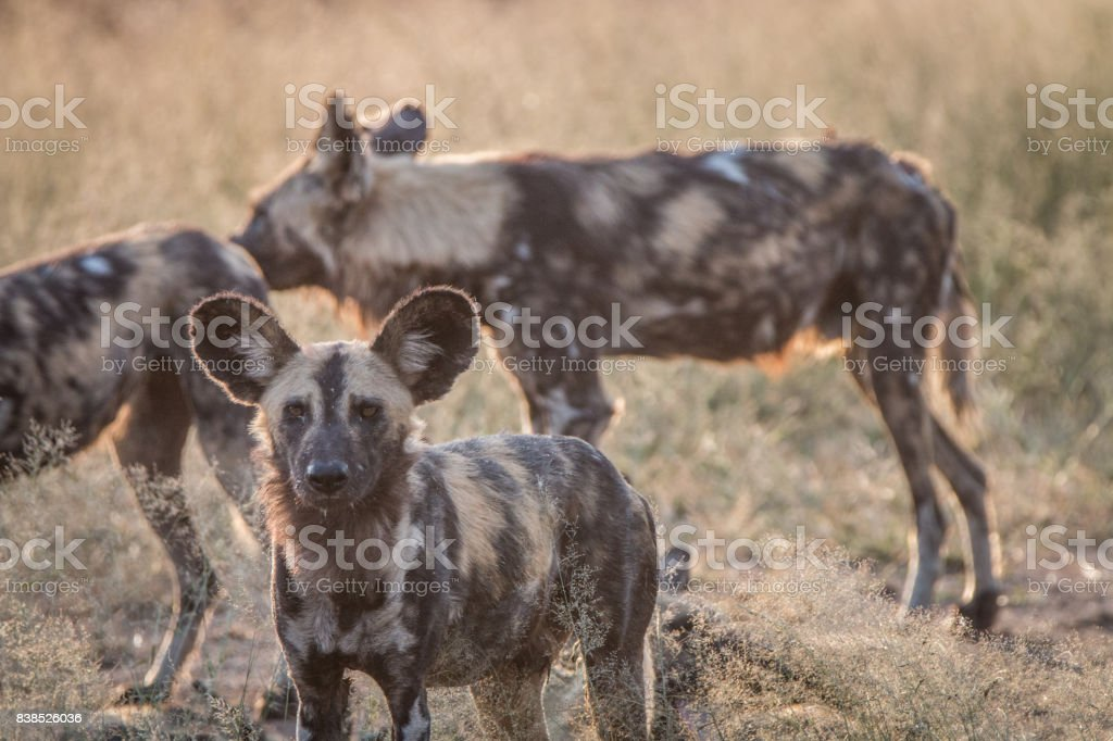 An African wild dog staring at the camera. stock photo