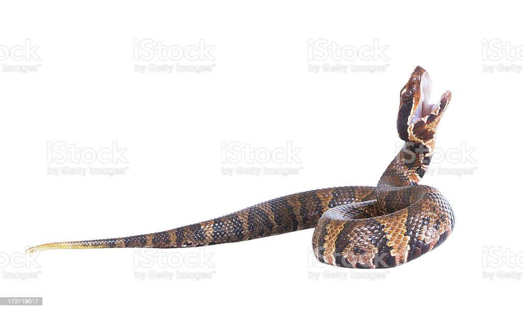An aggressive snake  American Copperhead (Agkistrodon contortrix stock photo