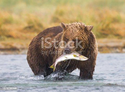 Coastal Brown Bear ( Ursus arctos ) in a river during salmon spawning run
