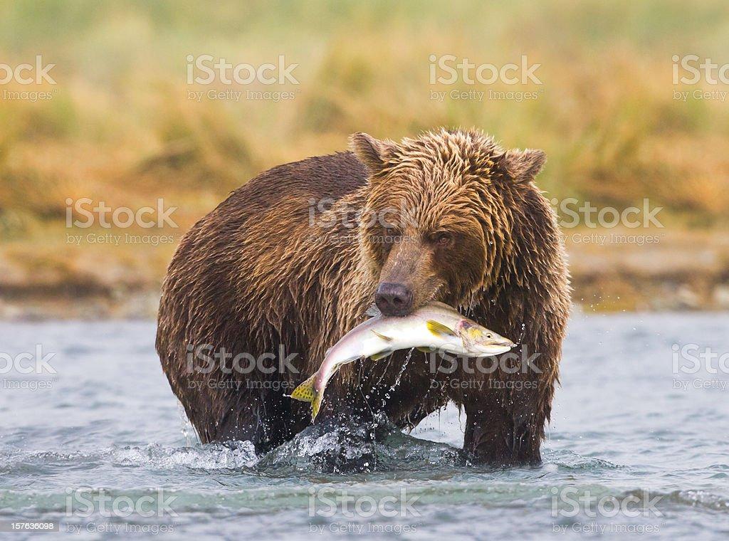 An Alaskan brown bear fishing in a river stock photo