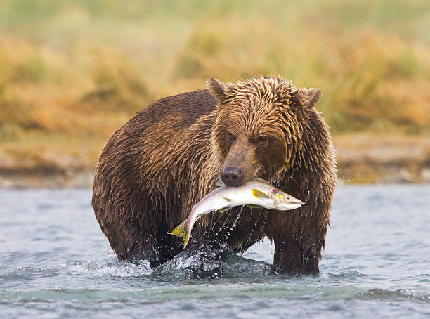 an alaskan brown bear fishing in a river - bears 個照片及圖片檔