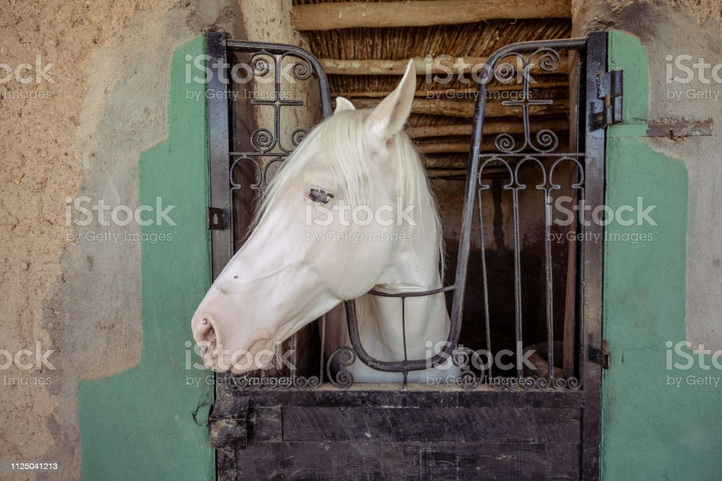 An albino horse is looking through the window in its paddock stock photo
