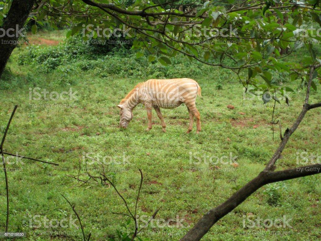 an albino zebra stock photo