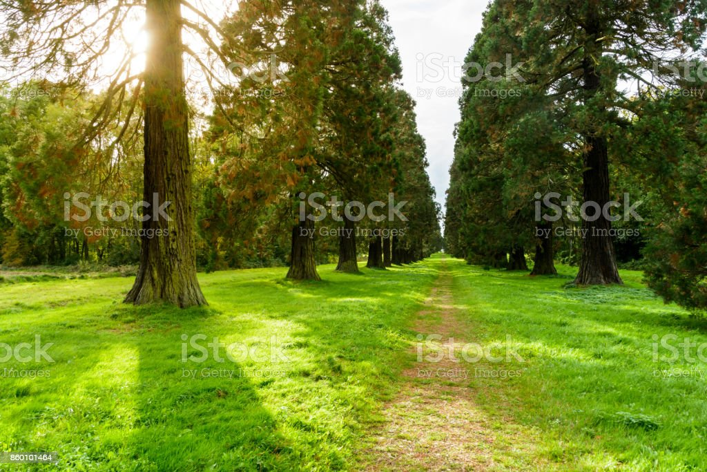 An alley bordered with giant sequoia trees at sunset stock photo