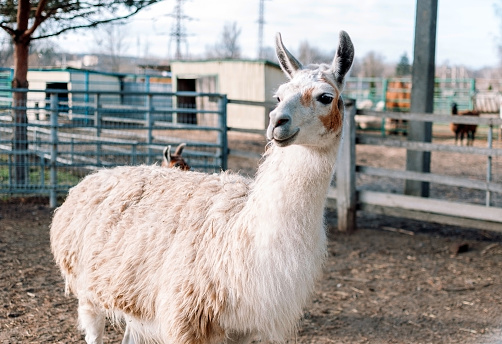 an alpaca resembling a llama from South America is in its pen on a farm.