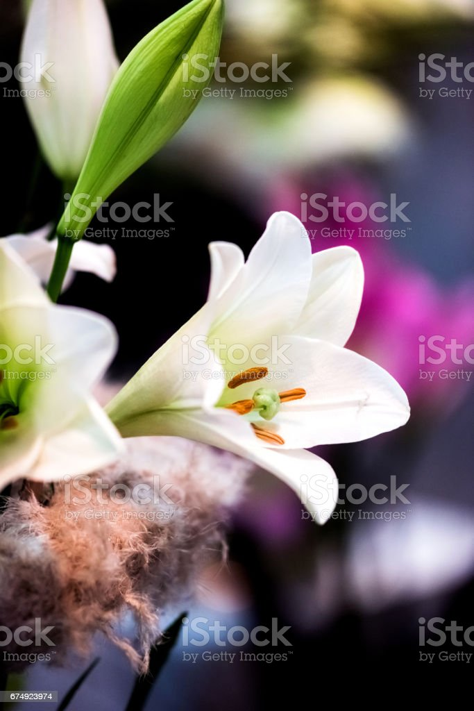 An amazing blossom lily. Nature background. royalty-free stock photo