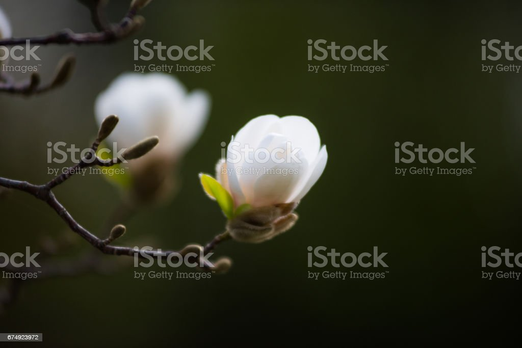 An amazing blossom magnolia. Nature background. Spring flowers. Spring Background royalty-free stock photo
